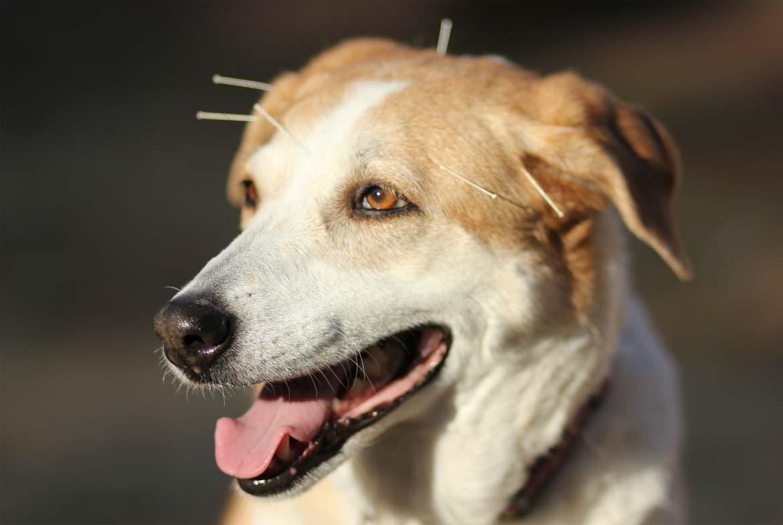 akupunktura za pse